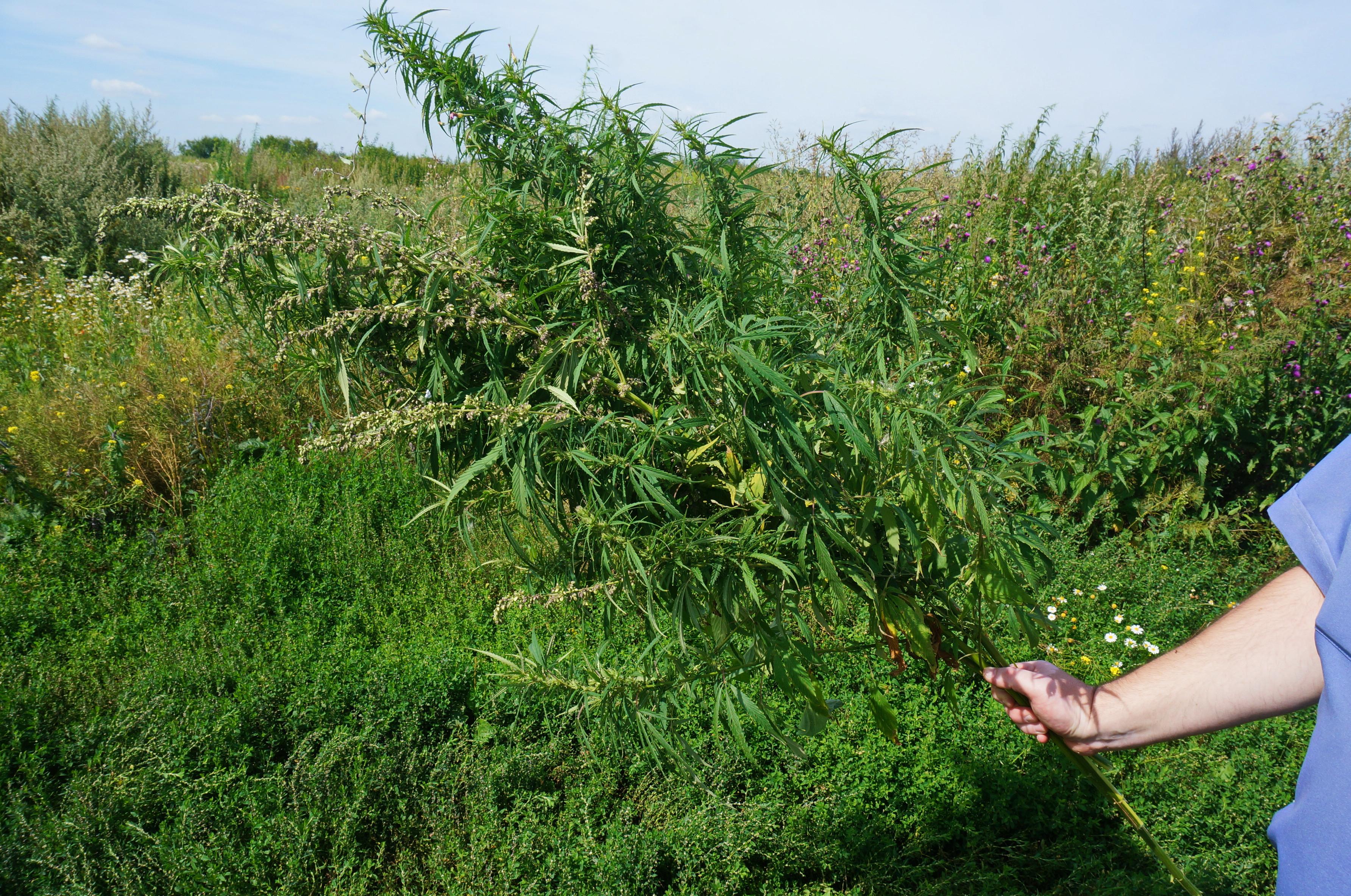 Конопля в жуковском марихуана жизнь моя скачать
